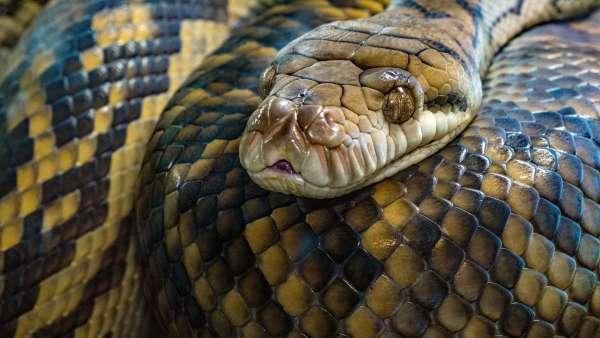 A beautiful specimen of the Amethystine python, the longest snake in Australia.